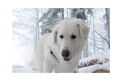 When you see something delicious but your human wants to take a photo before giving it to you. (balu51) Tags: winter winterspaziergang wald bäume schnee nebel weiss grau schwarz hund ungarischerhirtenhund wintermorning snow fog forest wood tree dog white grey black 36537 januar 2019 copyrightbybalu51