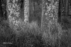 Ken Is Lichen It_27A8066 (Alfred J. Lockwood Photography) Tags: alfredjlockwood nature landscape trees forest grasses monochrome bw sieurdemonts acadianationalpark autumn noon overcast