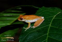 Chiromantis nongkhorensis (Evgeny Kotelevsky) Tags: herpingtheearth evgenykotelevsky herpetology amphibian frog rhacophoridae chiromantisnongkhorensis