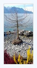 roots (overthemoon) Tags: switzerland suisse schweiz svizzera romandie vaud montreux lake léman lakegeneva mountains alps water blue sunny winter frame