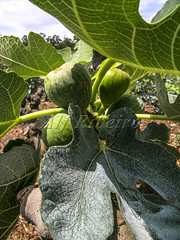 Alf 0001 - 0478 (Alf Ribeiro) Tags: agribusiness agriculture brazil rural agricultural america crop cut farm farmland field fig figs food fresh fruit green immaturity leaves nature outdoor plant production raw south tree