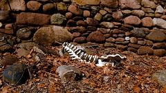 (jve3.com) Tags: dinosaurbones bones