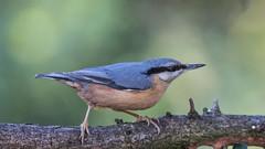European Nuthatch (Brian Dunning) Tags: bird nuthatch sittaeuropaea shakerleymere cheshire canon eos7dmarkii ef100400mmf4556lisiiusm