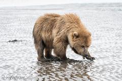 _HB31709 (Hilary Bralove) Tags: lakeclarknationalparkbrownbearsbearsalaskanikonwildlifegrizzlygrizzlybearbrownbearanimalswildlifephotographerclamming alaksa brownbears grizzlybears bear bears grizzly brownbeargrizzly bearlake clarkwildlifealaska wildlifenikonlake clark national park