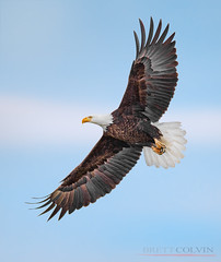 Wingspan (Fly to Water) Tags: bald eagle usa utah flight flying sky blue clouds professional bird photography avian outdoors wild wildlife nikon d850 600mm f4 fl haliaeetus leucocephalus wingspan wing span spread wings