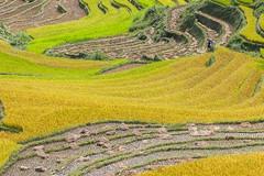 _J5K2373.0918.Dế Xu Phình.Mù Cang Chải.Yên Bái (hoanglongphoto) Tags: asia asian vietnam northvietnam northwestvietnam landscape scenery vietnamlandscape vietnamscenery vietnamscene terraces terracedfields seasonharvest hill hillside canon canonef70200mmf28lisiiusm tâybắc yênbái mùcangchải dếxuphình phongcảnh ruộngbậcthang lúachín mùagặt ngọnđồi sườnđồi mùcangchảimùalúachín mùcangchảimùagặt cruve đườngcong abstract trừutượng canoneos1dsmarkiii harvesingseasonriceinvietnam terracesinvietnam