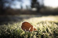 frosty rose garden-9 (sebboh) Tags: sonyfegm24mmf14 sonya7kolariut frozen leaf frost grass bokeh laddsaddition portland oregon closeup