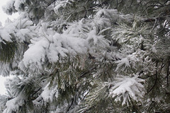 Snow on Pine (arbyreed) Tags: arbyreed snow winter cold snowing trees snowfilledtrees snowfall loadedtrees