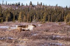 Spring Bull (Dan King Alaskan Photography) Tags: caribou bullcaribou bull rangifertarandus interior alaska protectwildlife preservewilderness wildlife canon80d sigma150600mm