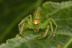 Claws (kebspilip) Tags: spider jumping sigma105mm arachnida macro tropical spiders