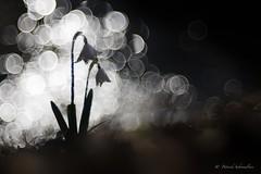 Niveole de printemps-Leucojum vernum** (PatNik01) Tags: france leucojumvernum nivéoledeprintemps blanc bugey flare fleur flower flowers wild wildlife nikon plant bokeh macro proxy nature