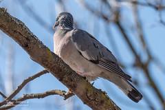 Pigeon colombin - 6935 (Luc TORRES) Tags: annecy auvergnerhônealpes columbidés columbiformes faune france hautesavoie lacdannecy nature oiseaux pays pigeoncolombin