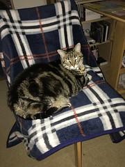 Tigger Strikes Again (sjrankin) Tags: 30march2019 edited animal cat tigger night chair table livingroom blanket flash kitahiroshima hokkaido japan