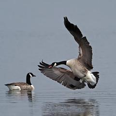 canada goose (DODO 1959) Tags: wildlife canadagoose birds animal outdoor fauna avian landing water waterfowl micro43 olympus omdem1mk2 300mmf4 x14converter glamorgan kenfig nnr wales
