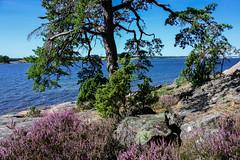 IMG_2873-1 (Andre56154) Tags: schweden sweden sverige wasser water ufer meer ozean ocean baum tree heide