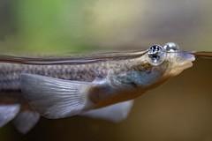 quatre yeux (Patrick Doreau) Tags: poisson quatre yeux fish anableps aquarium saintmalo regard eyes look water eau