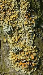 Lichen (Sybalan,) Tags: toward cowal coastal argyll arachnids lichen ladybird insects gorse scotland sunny summer canon 760d 100mmmacrolens macro march nature wildlife westcoast seashore shieldbug arachnoid yellow red green
