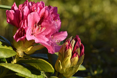 Fleurs de Rhododendrons (ptit fauve) Tags: fleursdanslejardin rhododendron jardin fleur nikon nikond850 saintaignandegrandlieu paysdelaloire france 44 nikkor105f28 couleurs feuilles