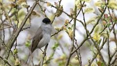 Eurasian blackcap ~ Sylvia atricapilla (Cosper Wosper) Tags: eurasian blackcap sylviaatricapilla hamwall somerset levels bird willow
