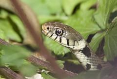 Grass Snake (Alan McCluskie) Tags: grasssnake snakes uksnakes natrixnatrix reptiles wildsnakes