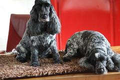 Golden  Moment  &  Little  Confidential (excellentzebu1050) Tags: cockerspaniel spaniel dog doggy farmdog indoors pet cocker closeup animal animalportraits animals coth5 sunrays5