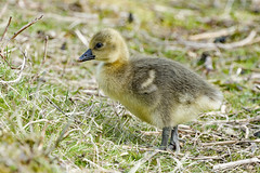 grågås-20 (S. Nysteen) Tags: grågås anseranser greylaggoose gentoftesø
