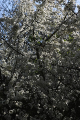 brill walk-190401-48.jpg (Phil Mercer-Kelly) Tags: sunshine spring radiooxford bbc counyryside blossom philmercer getactive brill sheep buckinghamshire europe england uk oxfordshire views bucks health windmill walker oakley walk