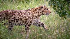 Crossing Our Path (helenehoffman) Tags: africa kenya pantheraparduspardus felidae mammal conservationstatusvulnerable cat feline africanleopard leopard bigcat maasaimaranationalreserve animal coth specanimal coth5 alittlebeauty