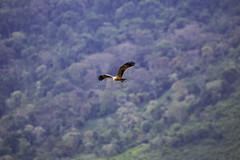Tawny Eagle (surfneng) Tags: africa bird ngorongorocrater safari tanzania tawnyeagle