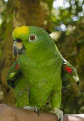 robert (johnmoralesh) Tags: loro closeup colombia campo airelibre animal animales animals bird birds angrybird green pereira naturaleza nature