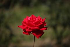 A Red Rose (arif.bsl14) Tags: flower flowers rose roseflower blooming bud bloom natural nature macro closup