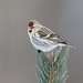 Common Redpoll female (mandokid1) Tags: canon 1dx ef600mm11 birds