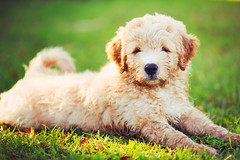 496688558 (sara.declercq) Tags: pets puppy facialexpression grass cute paw retriever dog looking playful friendship yellow small defocused outdoors closeup blondhair mammal animal summer addorable