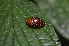 Rainforest Ladybird (marmendy mill) Tags: ecuador rainforest amazon naporiver napowildlifecentre insect bug beetle ladybird coleoptera ladybug