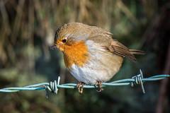 Bird on a wire (Maria-H) Tags: robin erithacusrubecula glossop derbyshire highpeak uk olympus omdem1markii panasonic 100400