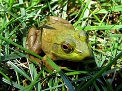 Green frog (thomasgorman1) Tags: canon frog green nature grass backyard pennsylvania rural animal amphibian closeup