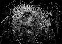 The Golden Orb (Peter Polder) Tags: australia bw gardens monochrome mono morning dew spider web