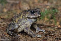 Duttaphrynus melanostictus (Fernando_Iglesias) Tags: sri lanka srilanka ceylon frogs amphibians pseudophilautus fejervarja duttaphrynus toads polypedates