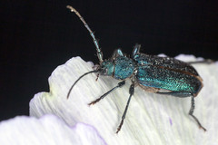 Jewel, Pt. 2 - _TNY_5097 (Calle Söderberg) Tags: macro canon canon5dmkii canoneos5dmarkii canon5dmarkii 5d2 flash ringflash yongnuo yn14ex raynox dcr250 insect beetle skalbagge coleoptera blåhjon violettanbarkbeetle blackbackground metallic green blue cerambycidae långhorning allätarbagge polyphaga longhornbeetle callidium violaceum f19