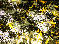 Leaves or Fishes (Steve Taylor (Photography)) Tags: abstract black brown orange yellow white water pond christchurch southisland nz newzealand canterbury leaves branch tree reflection winter