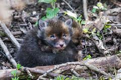 Fox cubs (pstani) Tags: cambridgeshire england europe greatbritain littlepaxton localnaturereserve paxtonpits vulpesvulpes animal fauna fox foxcub redfox
