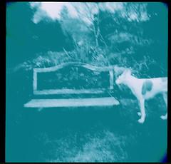 marina in turquoise (bunchadogs & susan) Tags: marinathepodencoibizanhound thebackfield holga cinestill800tcolorfilm homeprocessedintetenalc41chemicals fortunacalifornia