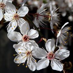 Spring (__ PeterCH51 __) Tags: flowers white spring springtime basel switzerland nature square peterch51 frühling blüte blossoms springblossoms seasons closeup macro makro springisintheair