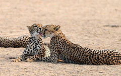 Cheetah mother with her 2 sons (Rob Keulemans) Tags: 2019 kgalagadi cheetah family copyright rob keulemans sand wild