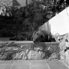 (analogicmoment) Tags: 120film mediumformat 6x6 blackandwhite bnwfilm kodaktrix400 homedeveloped kodakhc110b rolleiflex35f planar75mm dachshund dog keepfilmalive ishootfilm buyfilmnotmegapixels filmisnotdead