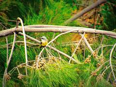 IMG_0189_edit (cnajhar2) Tags: suiriri nature bird ave tropicalkingbird