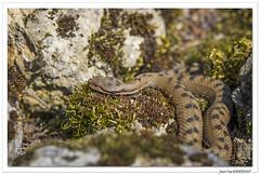 Reptiles en Alsace : et voici la vipère ! (C. OTTIE et J-Y KERMORVANT) Tags: nature animaux reptiles vipère vipèreaspic alsace france