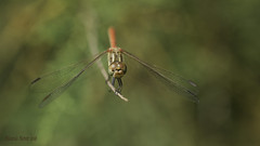 Frontal de S. sinaiticum (Ricardo Menor) Tags: odonatos odonata libélulas dragonfly airelibre iluminaciónnatural macho male cabeza ojos vistafrontal alas pterostigmas panorámica sympetrumsinaiticum insectos macrofotografía 2018 elprado elprado2018 canoneos60d