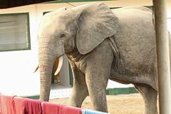 Savanna elephant at the Mole Motel, Mole National Park, Ghana (inyathi) Tags: westafrica ghana africananimals africanwildlife africanelephants savannaelephants loxodontaafricana elephants molenationalpark molemotel africa