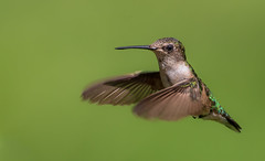 Ruby-throated Hummingbird (Lynn Tweedie) Tags: feathers beak missouri 7dmarkii tail bird sigma150600mmf563dgoshsm rubythroatedhummingbird green eye clouds ngc animal